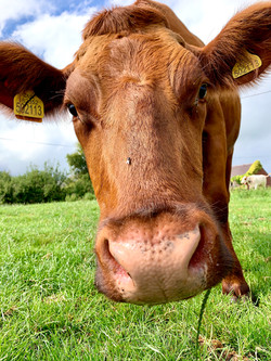 Dairy Shorthorn Cow
