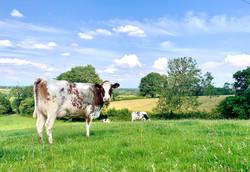 Shorthorn Cow