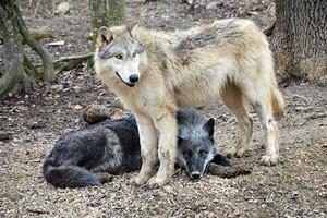 Partnerschaft mit dem Wolf Science Center