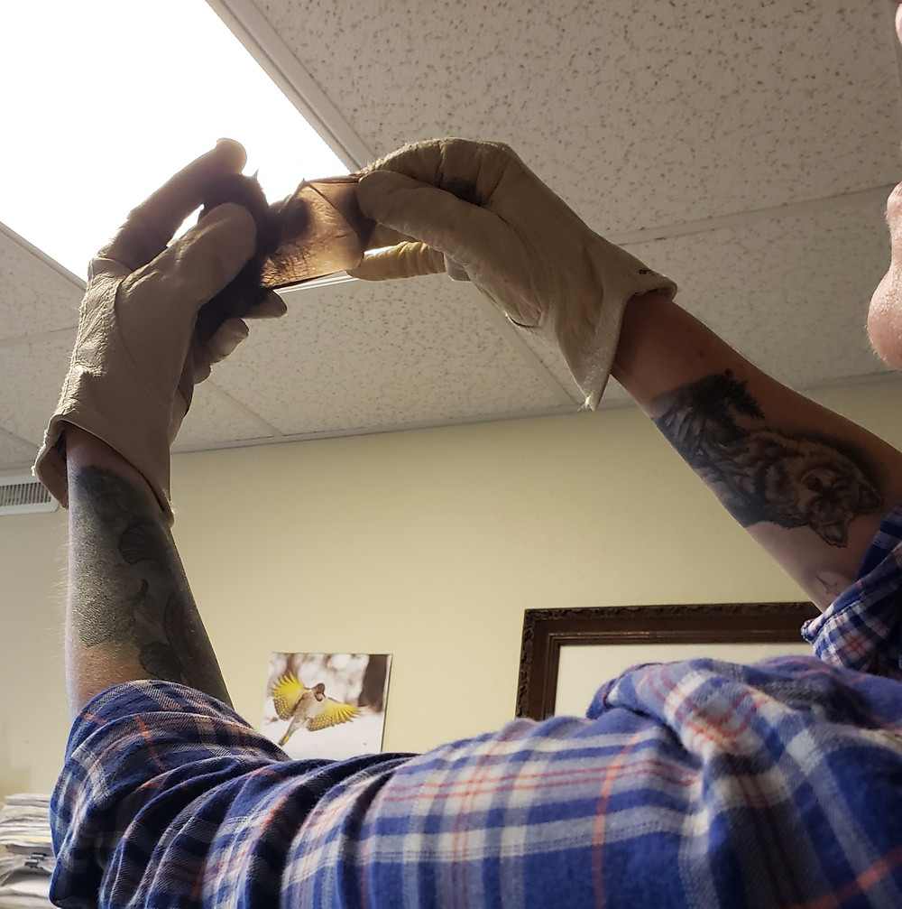 Practicing a bat exam -- checking finger membranes (Photo by Fisher)