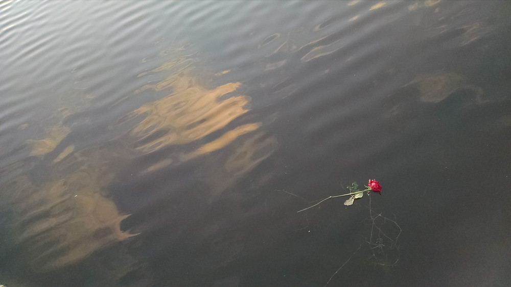 Discarded rose at Lake Tjörnin