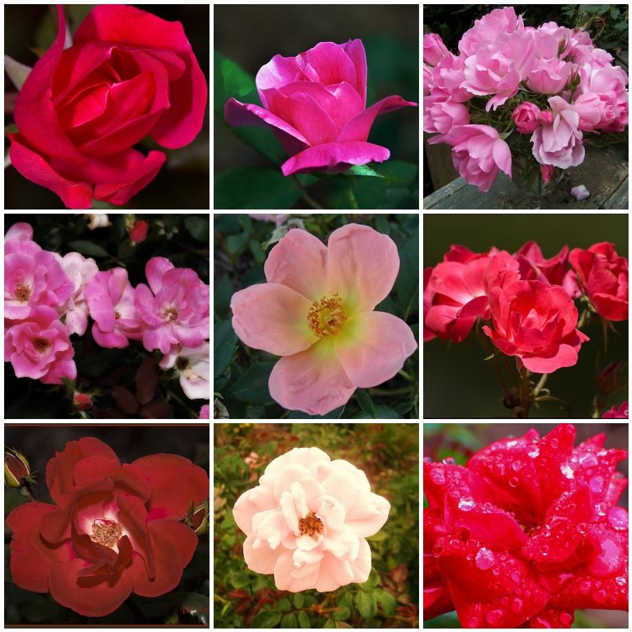 Knockout roses.jpg
