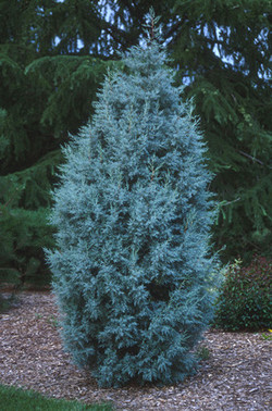Blue Ice Cypress