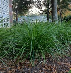 Lamandra Breeze Grass