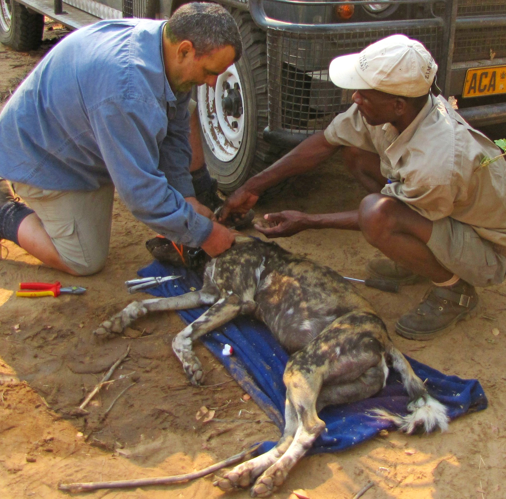 Greg Collaring Painted Dog