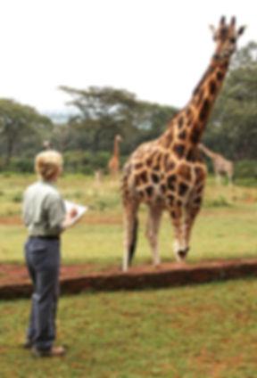 Becci Crowe drawing Rothschilds Giraffe Kenya