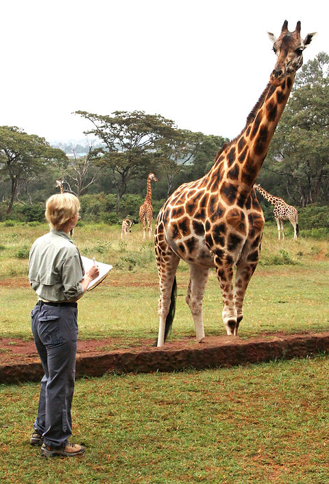 Becci Crowe drawing Rothschilds Giraffe Kenya