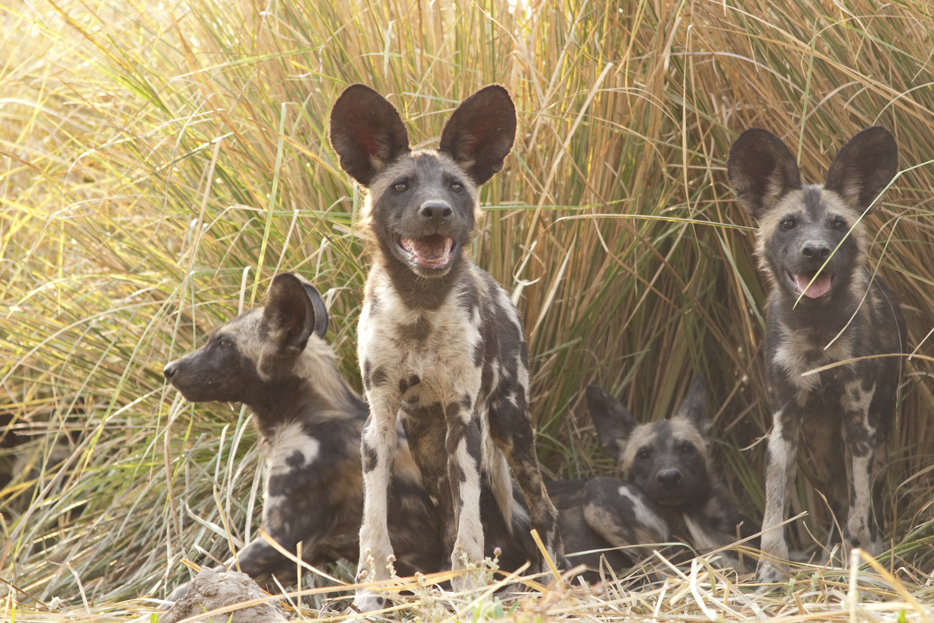 Painted Dogs aka African Wild Dogs