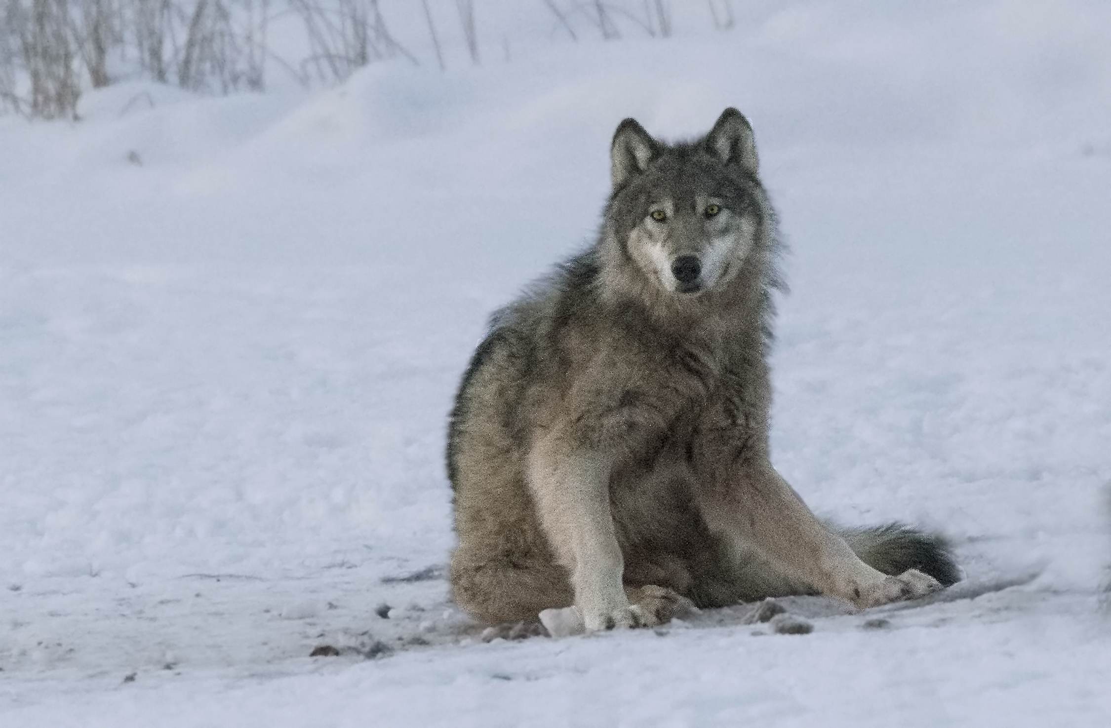 Wild Timber Wolf Sighted by Becci