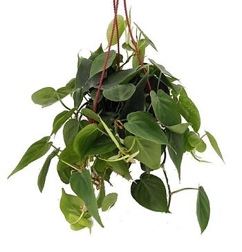 jet-hanging-heart-leaf-philodendron (1).
