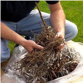 bareroot seedling.jpg