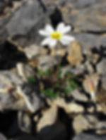 white flower Leavenworthia stylosa