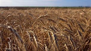 field-of-wheat.jpg