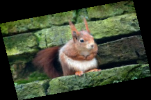 Reintroducing the Red Squirrel