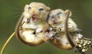 AGM and Harvest Mouse Talk
