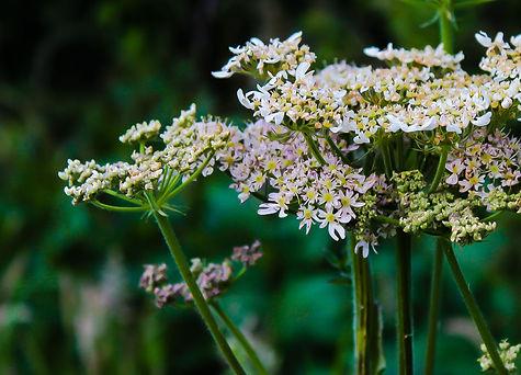 White Flowers-RAW.jpg