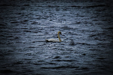 Lough Erne Swan.jpg