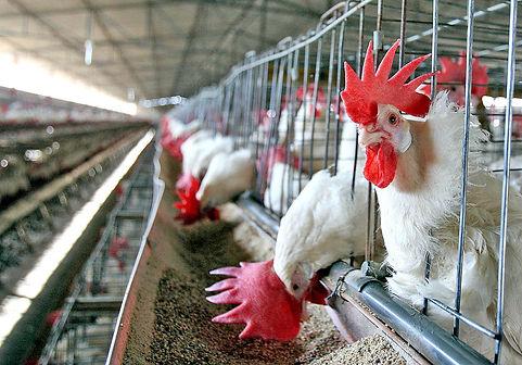 ERP SAP Avícola Industria Agropecuaria GDL