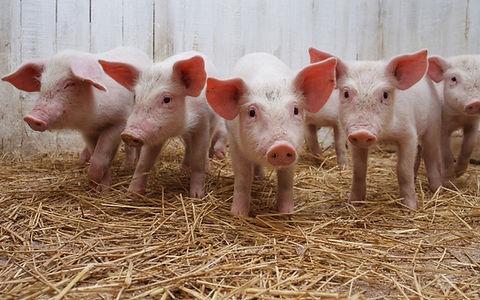 SAP Porcino ERP Agro industria Alimentos Embutidos Carne