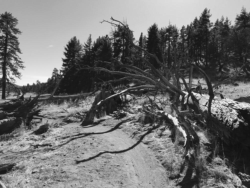 Big Laguna Trail Old Trees
