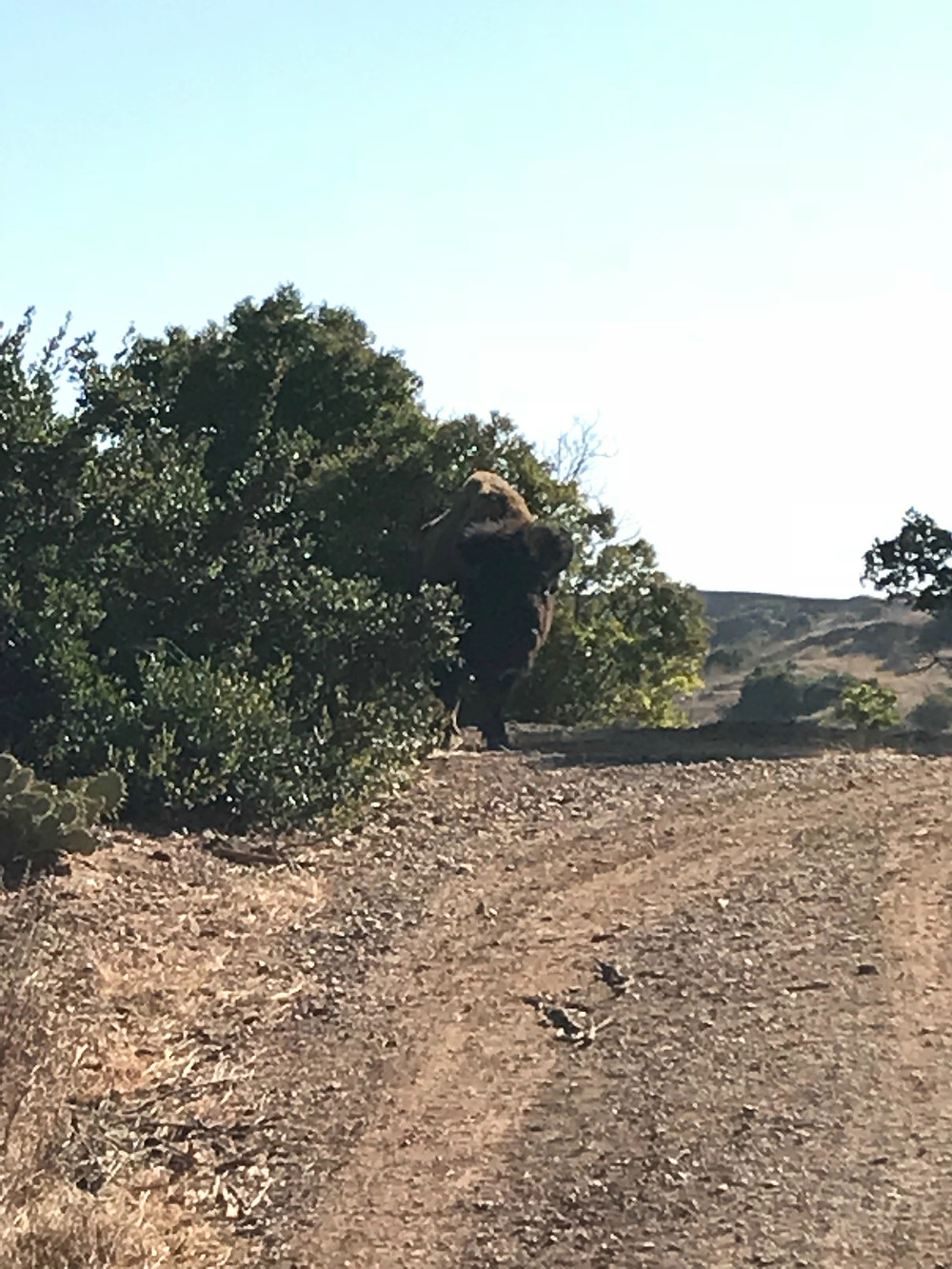 Catalina Buffalo on Trail