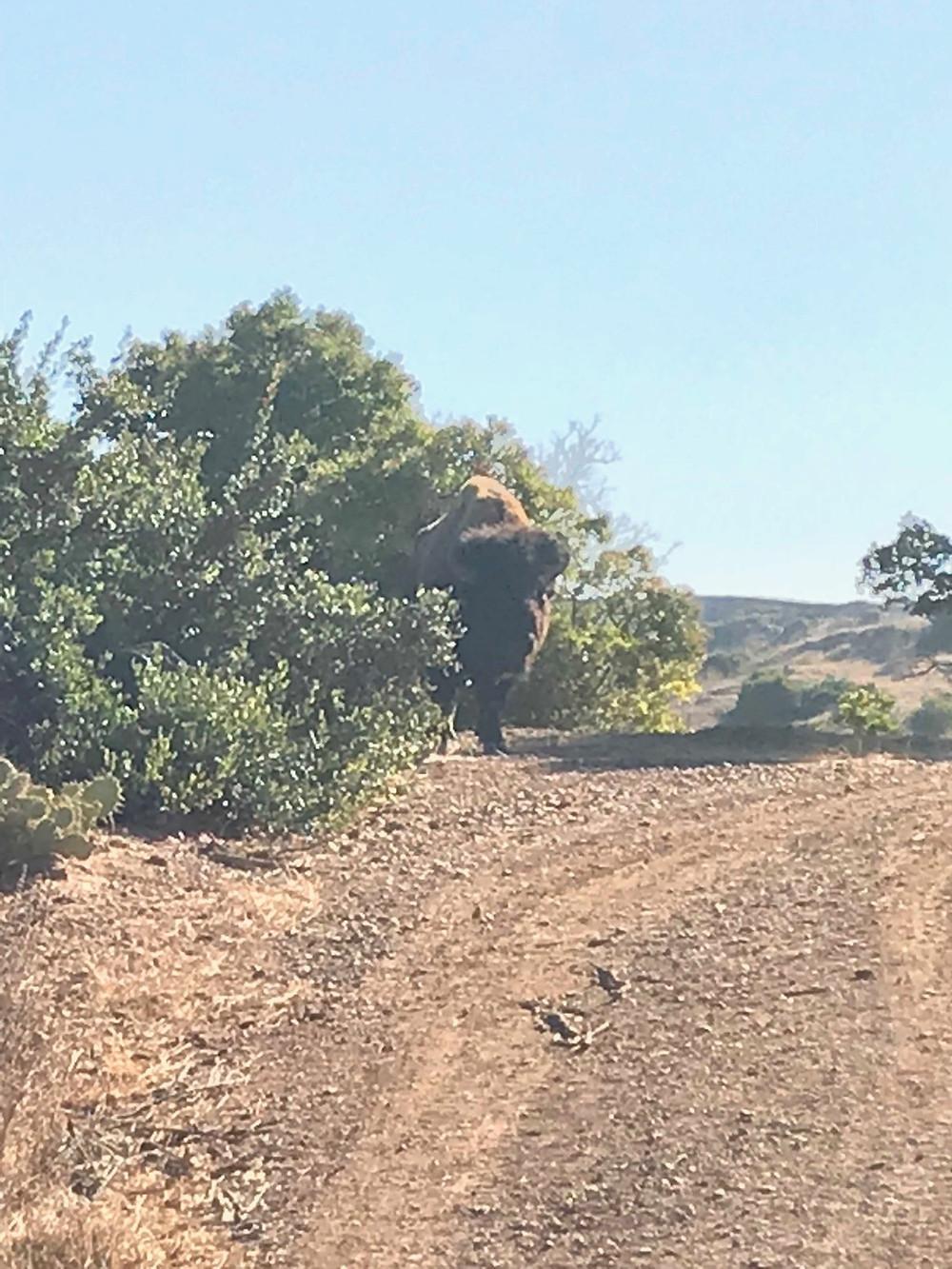 Trans Catalina Trail Buffalo