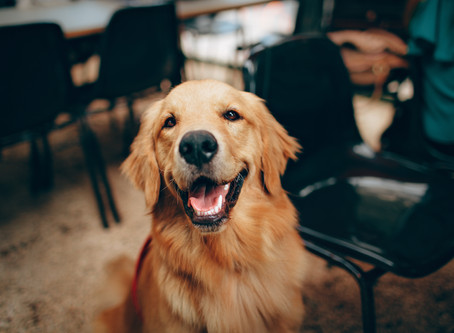 Top Tips for Feeding and Grooming your Golden Retriever