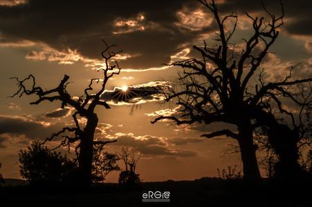 Dęby rogalińskie o wschodzie słońca