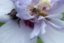 honeybee and friend.jpg
