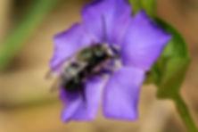 mason bee.jpg