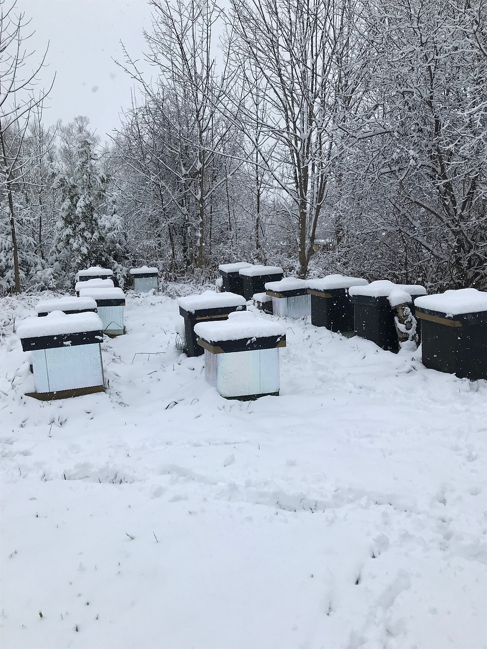 As you can see, the hives are starting to be covered with snow which acts as a good insulator