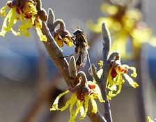 leaf cutter bee.jpg
