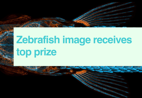 Zebrafish microphotography