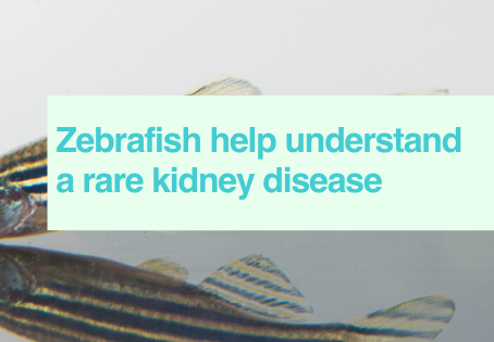 Zebrafish in rare kidney disease study