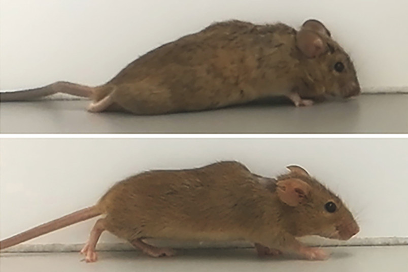 Paralysed mice are able to walk again thanks to treatment