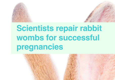 Rabbits wombs