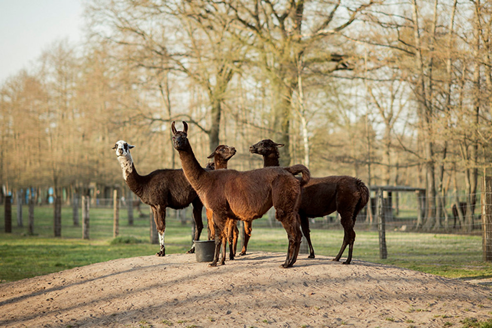 Llamas used in research at Ghent University