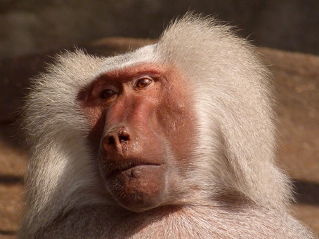 Baboon incident brings call for greater transparency in Australian research