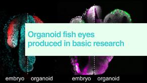 Organoid fish eyes