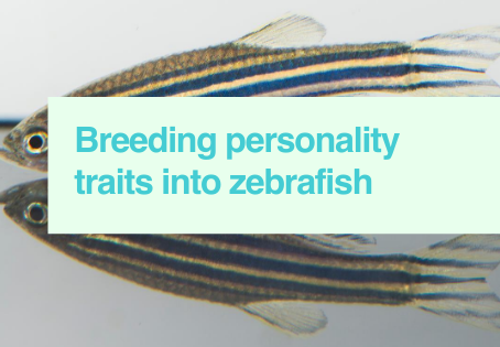 Personality changes in zebrafish