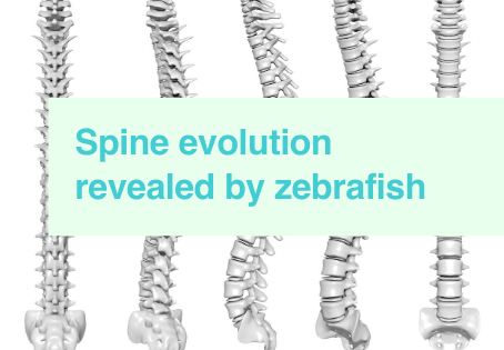Insights in spine evolution