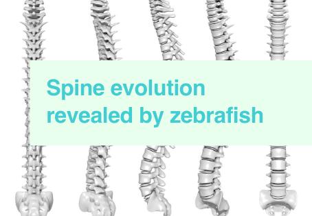 Insights in spine evolution
