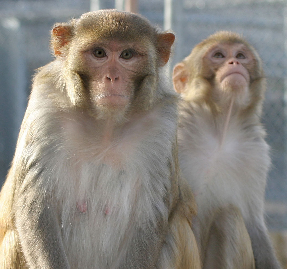 A picture of two rhesus macaques