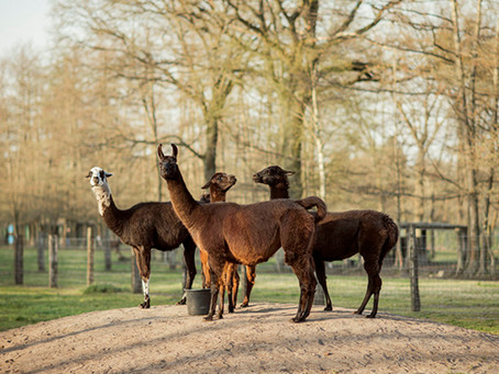 Llama antibodies could help combat Covid-19