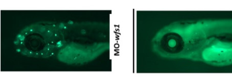 Zebrafish helping to understand hearing loss