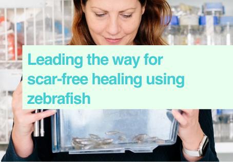 Scar-free healing with zebrafish