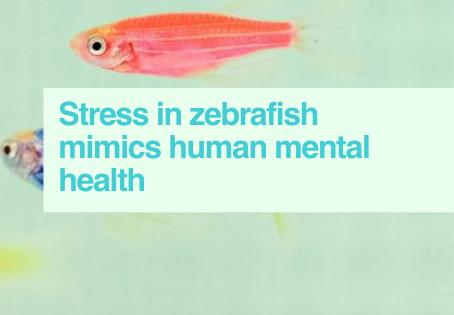 Zebrafish stress study