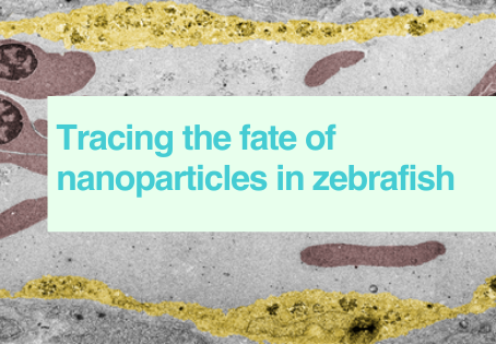 Nanoparticles in zebrafish