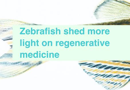 Zebrafish & regenerative medicine
