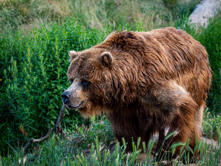 Sleeping bears may help to fight muscle atrophy